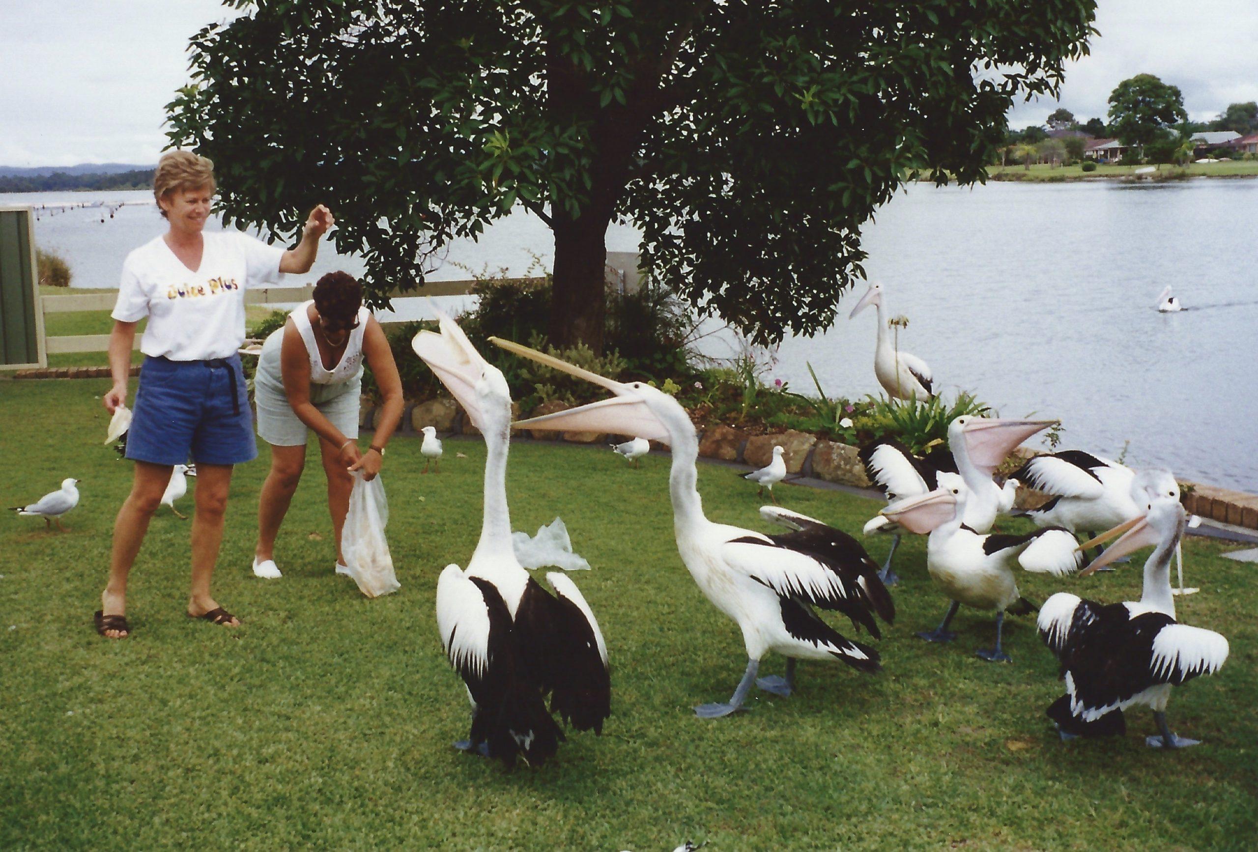 [Pelican feeding]